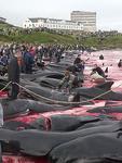 Thảm Sát Cá Heo ở Đan Mạch